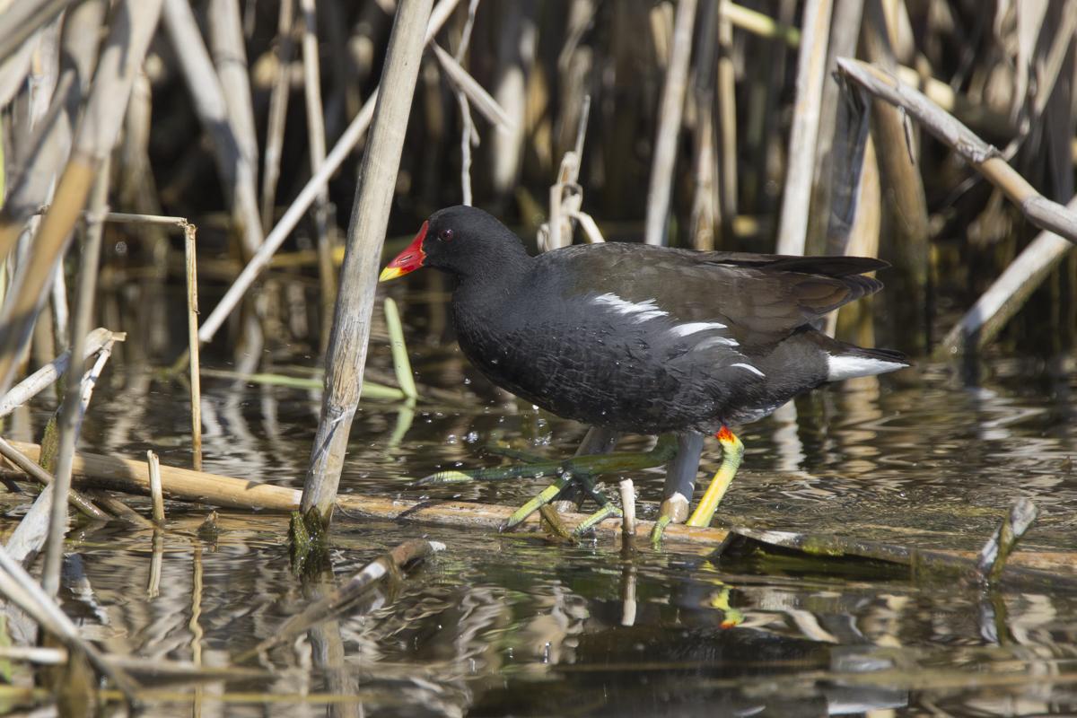 большинство птица камышница самка и самец фото направления характерно использование
