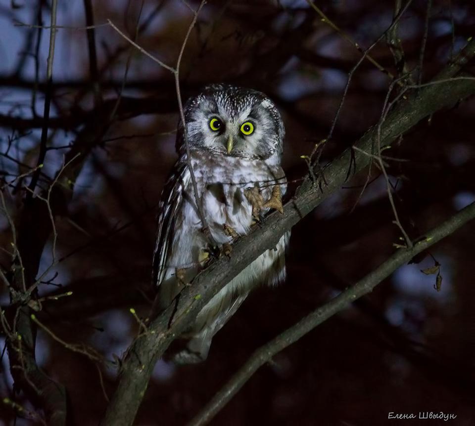 Ночные птицы подмосковья фото и описание