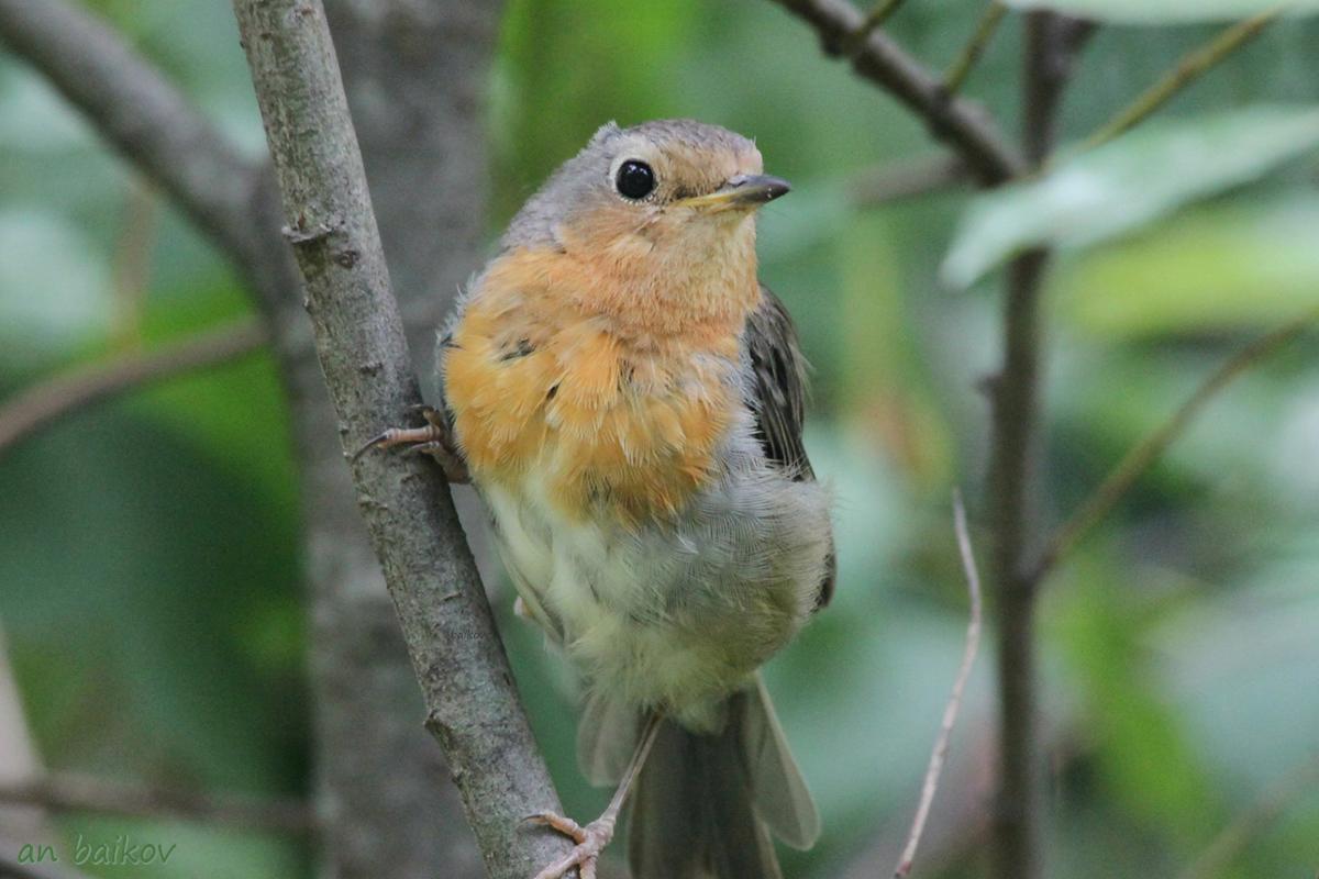 Птицы подмосковья фото голоса