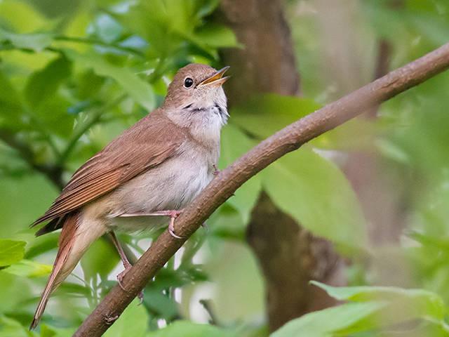 essay on nightingale bird Birds english essay- short essay on birds for kids subject write an english essay on birds in your words the cuckoo and the nightingale are singing birds.