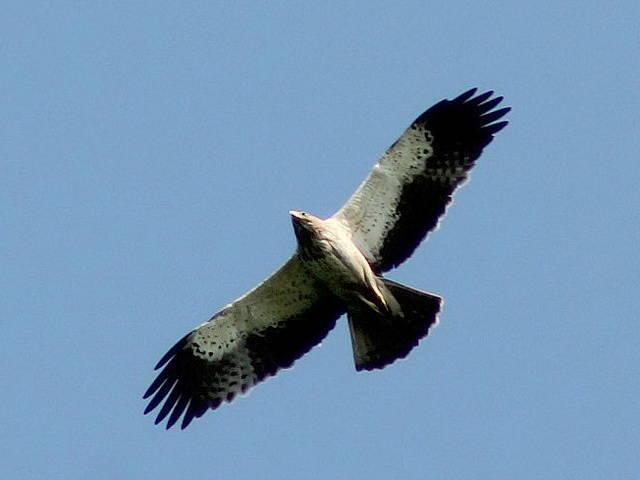 фото орёл-карлик